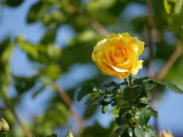 つるゴールドバニー(Gold Bunny Climbing)の花がたくさん咲いた。ツルバラ。2021年-028.jpg
