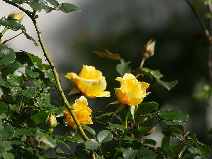 つるゴールドバニー(Gold Bunny Climbing)の花がたくさん咲いた。ツルバラ。2021年-029.jpg