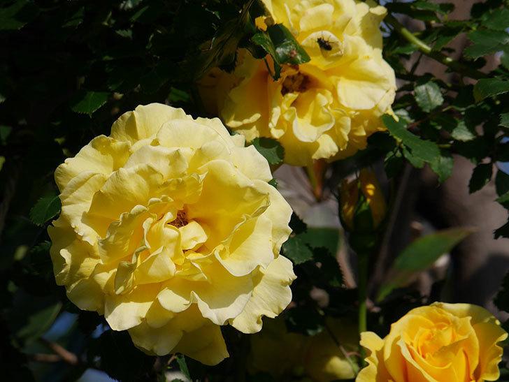 つるゴールドバニー(Gold Bunny Climbing)の花がたくさん咲いた。ツルバラ。2021年-030.jpg
