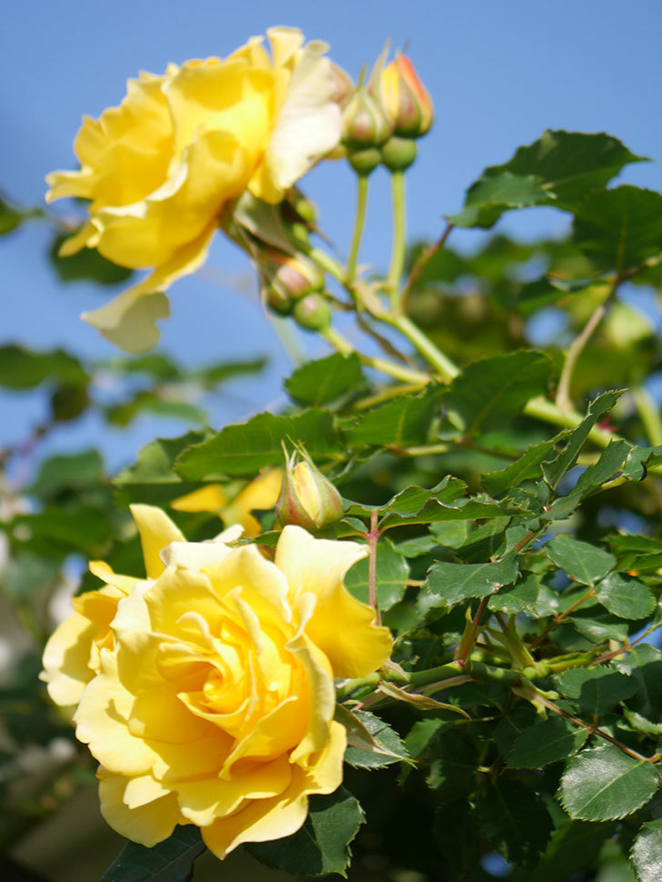 つるゴールドバニー(Gold Bunny Climbing)の花がたくさん咲いた。ツルバラ。2021年-032.jpg