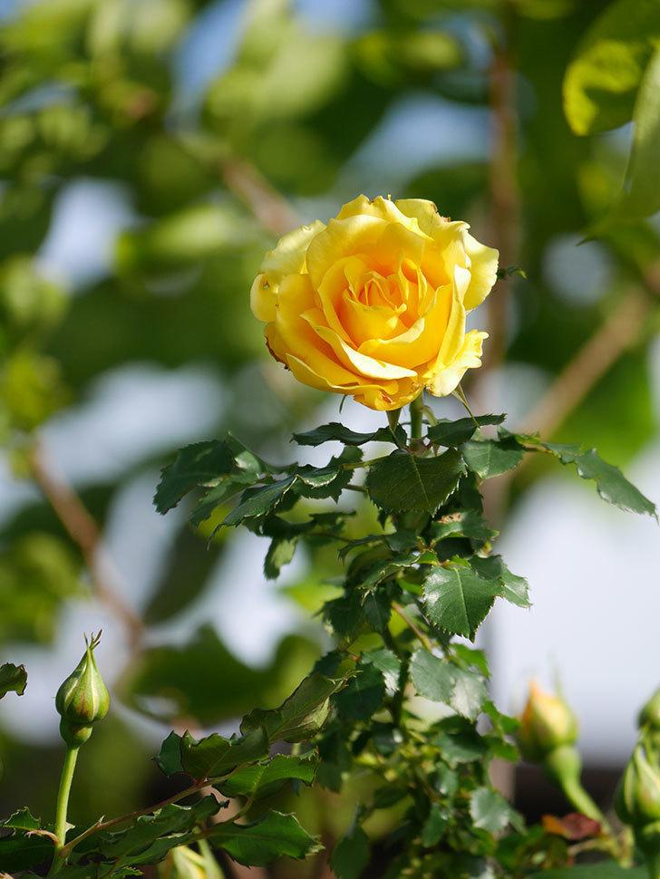 つるゴールドバニー(Gold Bunny Climbing)の花がたくさん咲いた。ツルバラ。2021年-033.jpg