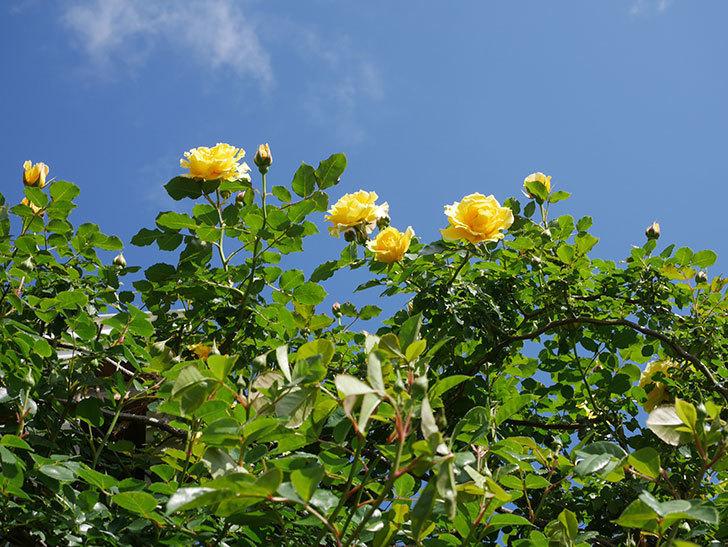 つるゴールドバニー(Gold Bunny Climbing)の花がたくさん咲いた。ツルバラ。2021年-034.jpg