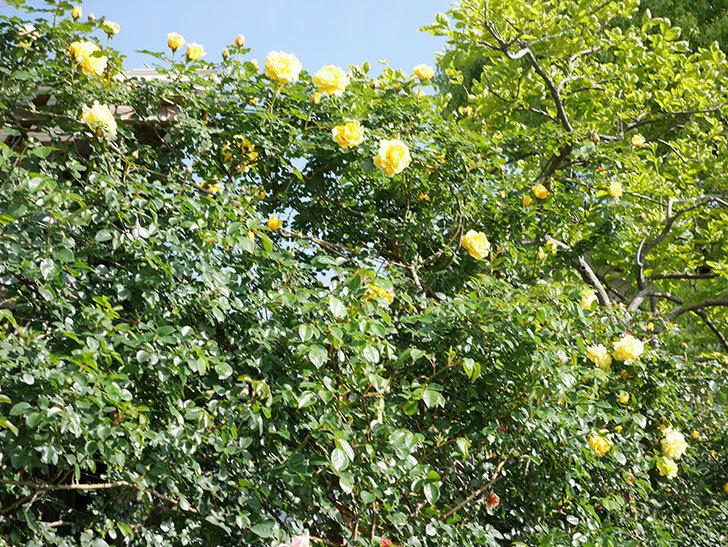 つるゴールドバニー(Gold Bunny Climbing)の花がたくさん咲いた。ツルバラ。2021年-036.jpg