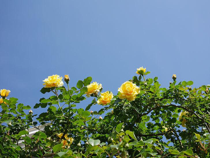 つるゴールドバニー(Gold Bunny Climbing)の花がたくさん咲いた。ツルバラ。2021年-037.jpg