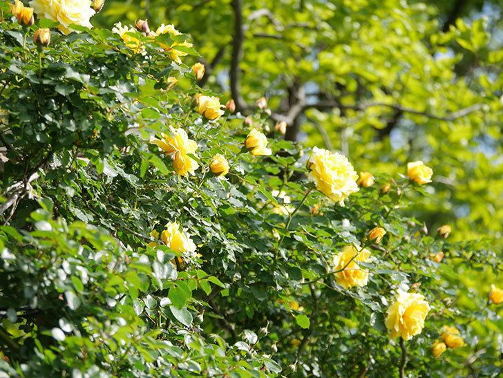 つるゴールドバニー(Gold Bunny Climbing)の花がたくさん咲いた。ツルバラ。2021年-038.jpg