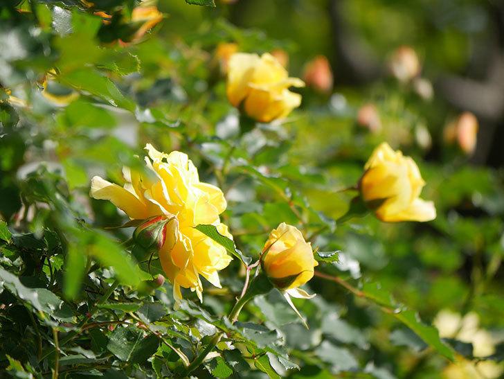 つるゴールドバニー(Gold Bunny Climbing)の花がたくさん咲いた。ツルバラ。2021年-039.jpg