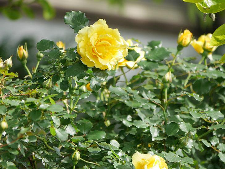 つるゴールドバニー(Gold Bunny Climbing)の花がたくさん咲いた。ツルバラ。2021年-042.jpg