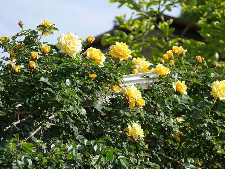 つるゴールドバニー(Gold Bunny Climbing)の花がたくさん咲いた。ツルバラ。2021年-043.jpg