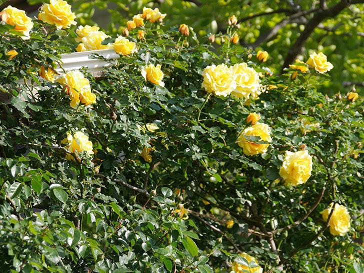 つるゴールドバニー(Gold Bunny Climbing)の花がたくさん咲いた。ツルバラ。2021年-044.jpg