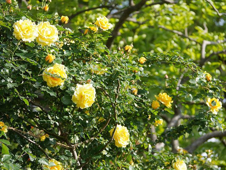 つるゴールドバニー(Gold Bunny Climbing)の花がたくさん咲いた。ツルバラ。2021年-045.jpg