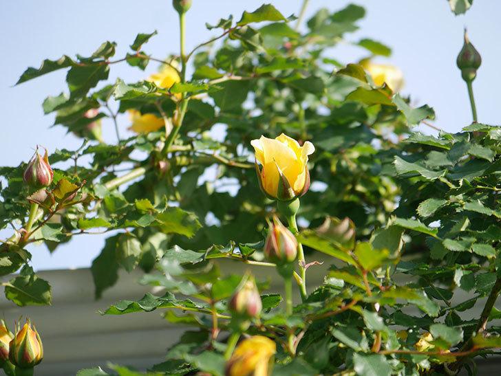 つるゴールドバニー(Gold Bunny Climbing)の花がたくさん咲いた。ツルバラ。2021年-046.jpg