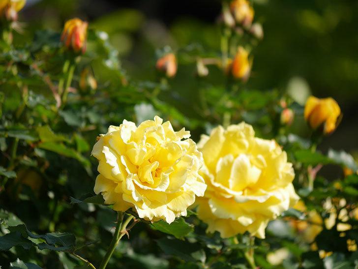 つるゴールドバニー(Gold Bunny Climbing)の花がたくさん咲いた。ツルバラ。2021年-047.jpg