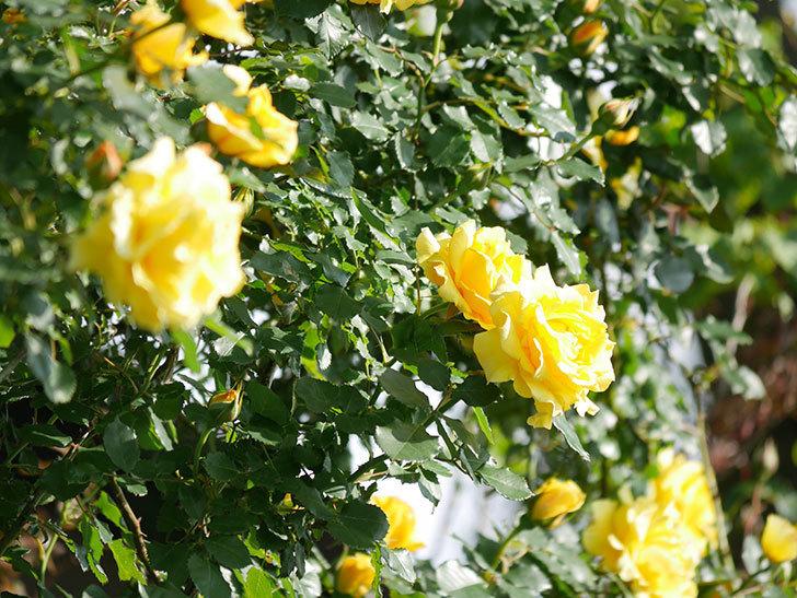 つるゴールドバニー(Gold Bunny Climbing)の花がたくさん咲いた。ツルバラ。2021年-048.jpg