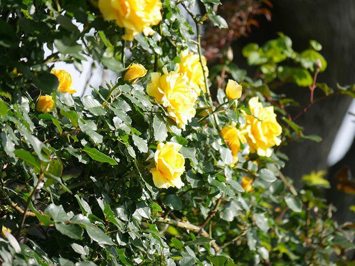 つるゴールドバニー(Gold Bunny Climbing)の花がたくさん咲いた。ツルバラ。2021年-049.jpg