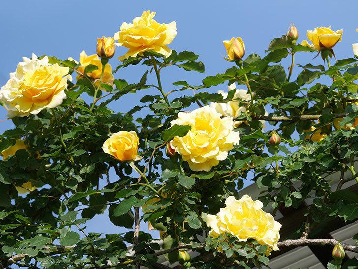 つるゴールドバニー(Gold Bunny Climbing)の花がたくさん咲いた。ツルバラ。2021年-051.jpg
