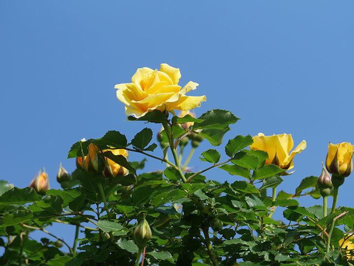 つるゴールドバニー(Gold Bunny Climbing)の花がたくさん咲いた。ツルバラ。2021年-054.jpg