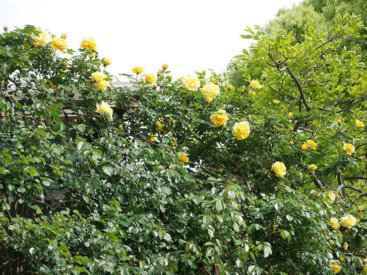 つるゴールドバニー(Gold Bunny Climbing)の花がたくさん咲いた。ツルバラ。2021年-058.jpg