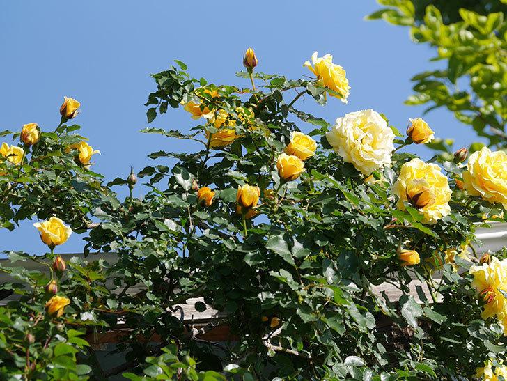 つるゴールドバニー(Gold Bunny Climbing)の花がたくさん咲いた。ツルバラ。2021年-061.jpg