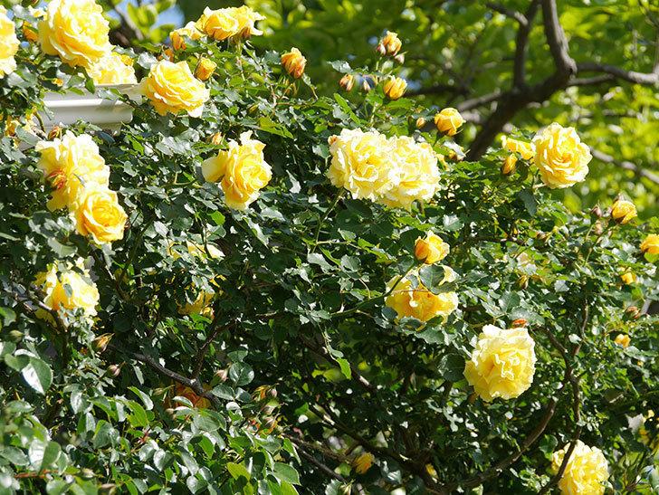 つるゴールドバニー(Gold Bunny Climbing)の花がたくさん咲いた。ツルバラ。2021年-062.jpg