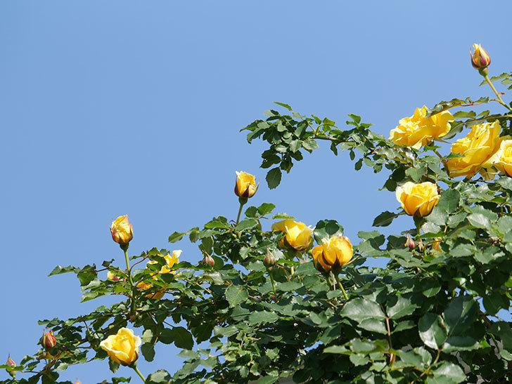 つるゴールドバニー(Gold Bunny Climbing)の花がたくさん咲いた。ツルバラ。2021年-063.jpg