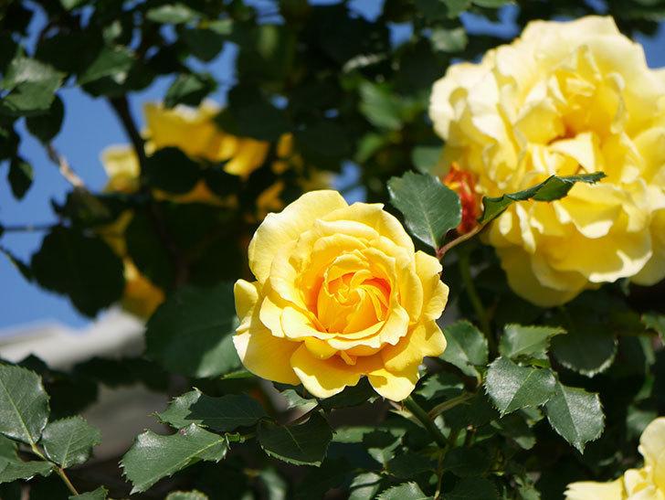 つるゴールドバニー(Gold Bunny Climbing)の花がたくさん咲いた。ツルバラ。2021年-066.jpg