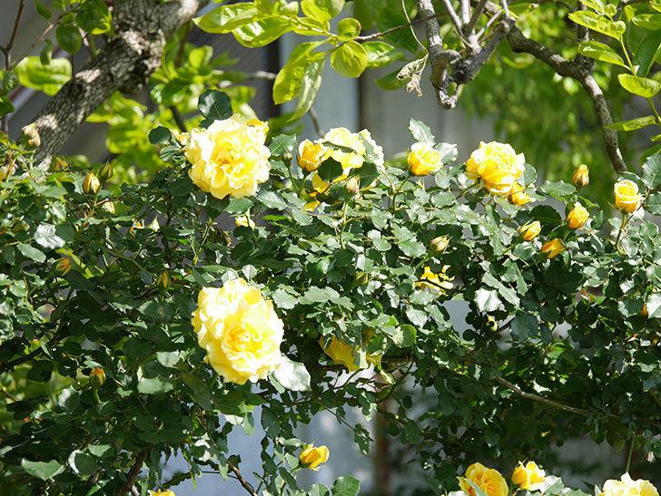 つるゴールドバニー(Gold Bunny Climbing)の花がたくさん咲いた。ツルバラ。2021年-068.jpg