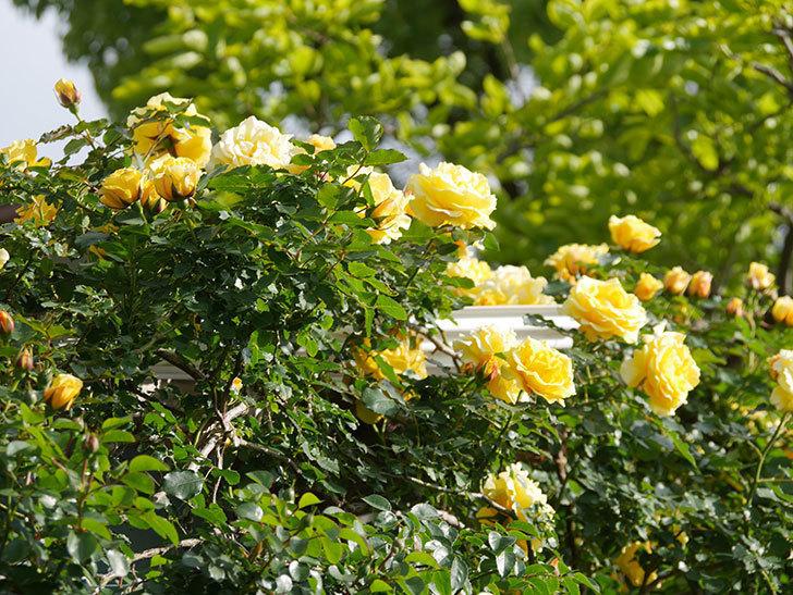 つるゴールドバニー(Gold Bunny Climbing)の花がたくさん咲いた。ツルバラ。2021年-069.jpg