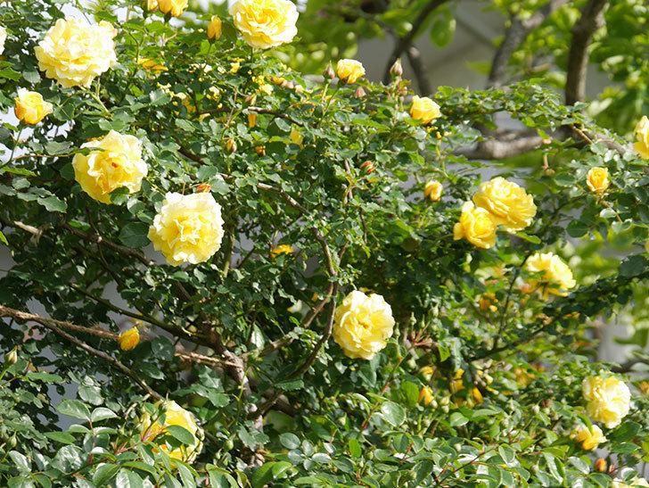 つるゴールドバニー(Gold Bunny Climbing)の花がたくさん咲いた。ツルバラ。2021年-071.jpg
