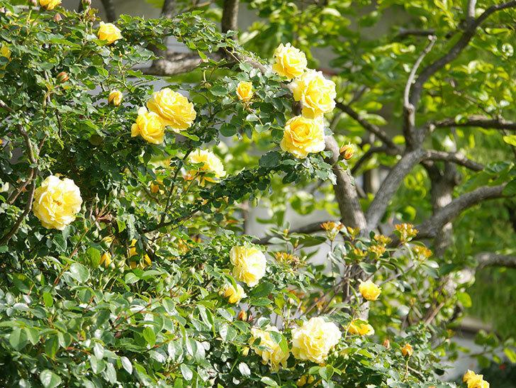 つるゴールドバニー(Gold Bunny Climbing)の花がたくさん咲いた。ツルバラ。2021年-072.jpg