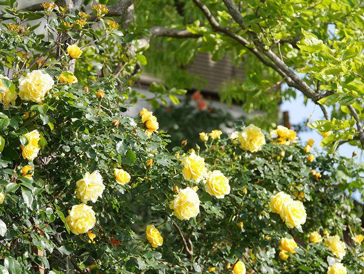 つるゴールドバニー(Gold Bunny Climbing)の花がたくさん咲いた。ツルバラ。2021年-073.jpg