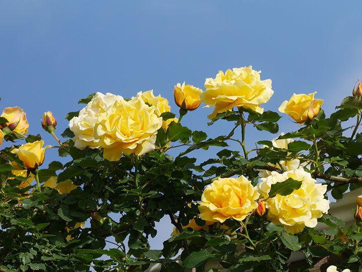 つるゴールドバニー(Gold Bunny Climbing)の花がたくさん咲いた。ツルバラ。2021年-074.jpg