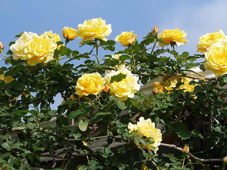 つるゴールドバニー(Gold Bunny Climbing)の花がたくさん咲いた。ツルバラ。2021年-075.jpg