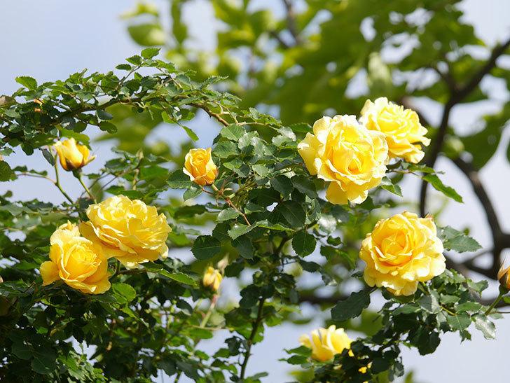 つるゴールドバニー(Gold Bunny Climbing)の花がたくさん咲いた。ツルバラ。2021年-076.jpg