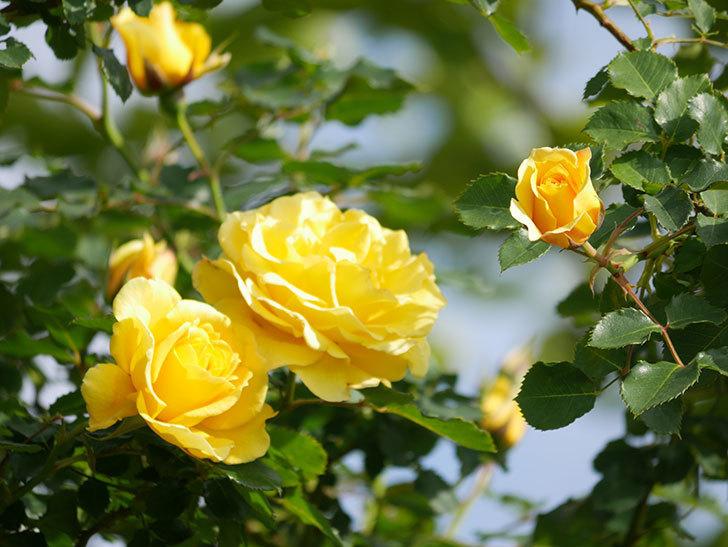 つるゴールドバニー(Gold Bunny Climbing)の花がたくさん咲いた。ツルバラ。2021年-077.jpg