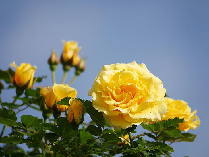 つるゴールドバニー(Gold Bunny Climbing)の花がたくさん咲いた。ツルバラ。2021年-078.jpg