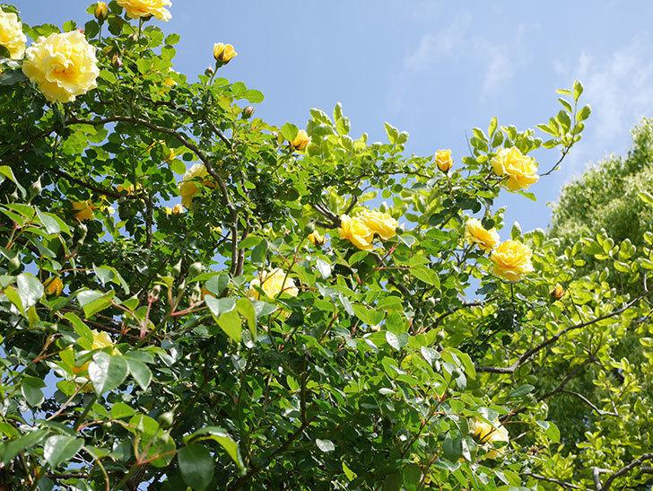 つるゴールドバニー(Gold Bunny Climbing)の花がたくさん咲いた。ツルバラ。2021年-080.jpg