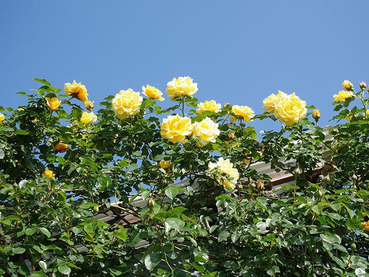 つるゴールドバニー(Gold Bunny Climbing)の花がたくさん咲いた。ツルバラ。2021年-081.jpg