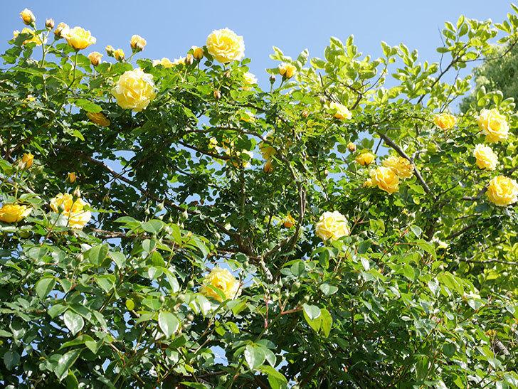 つるゴールドバニー(Gold Bunny Climbing)の花がたくさん咲いた。ツルバラ。2021年-082.jpg