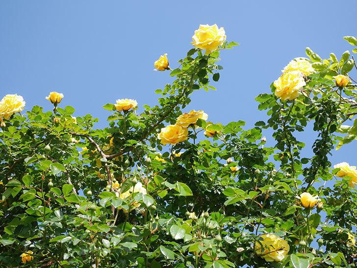 つるゴールドバニー(Gold Bunny Climbing)の花がたくさん咲いた。ツルバラ。2021年-083.jpg
