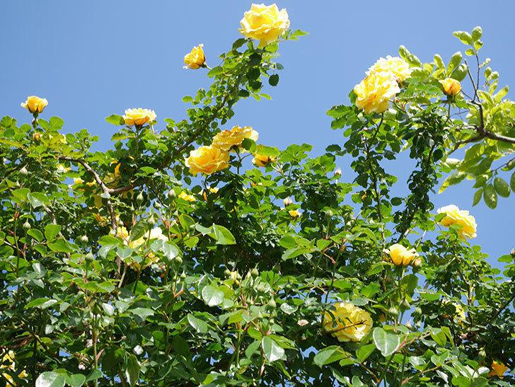 つるゴールドバニー(Gold Bunny Climbing)の花がたくさん咲いた。ツルバラ。2021年-084.jpg
