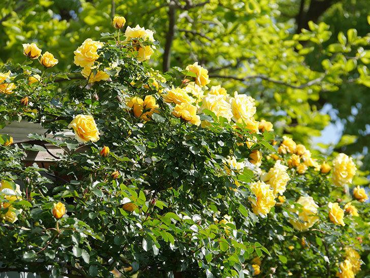 つるゴールドバニー(Gold Bunny Climbing)の花がたくさん咲いた。ツルバラ。2021年-085.jpg