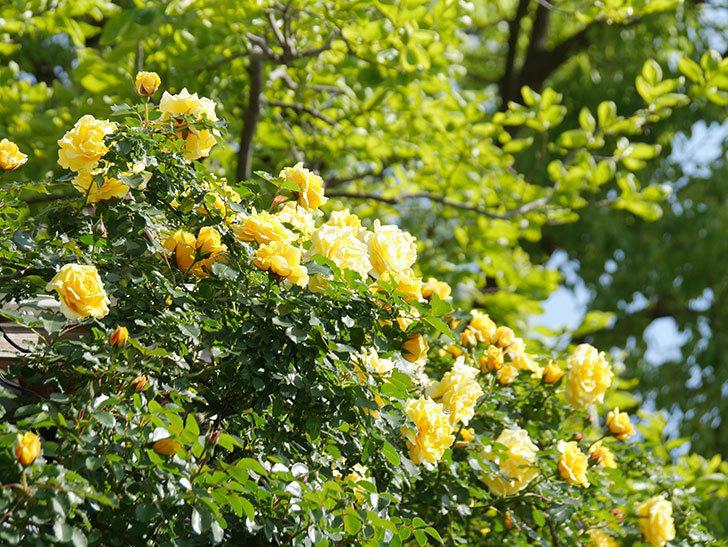 つるゴールドバニー(Gold Bunny Climbing)の花がたくさん咲いた。ツルバラ。2021年-086.jpg