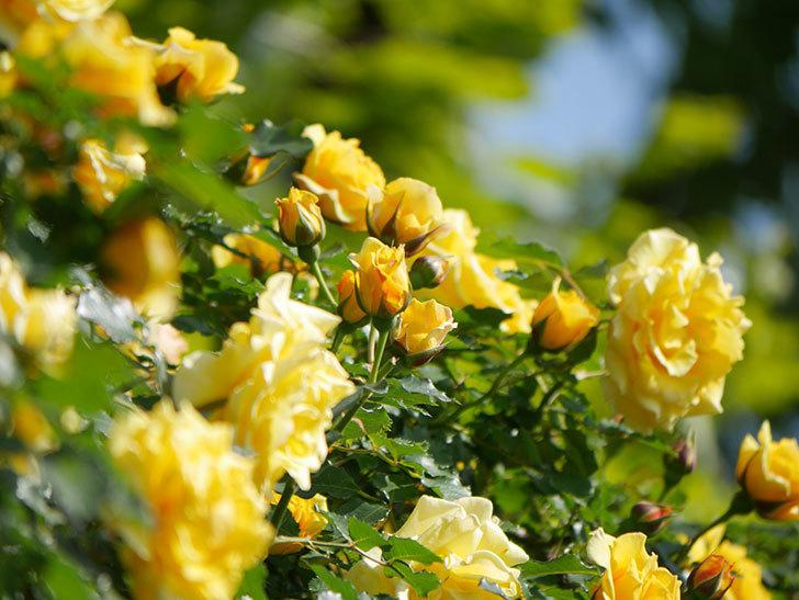 つるゴールドバニー(Gold Bunny Climbing)の花がたくさん咲いた。ツルバラ。2021年-087.jpg