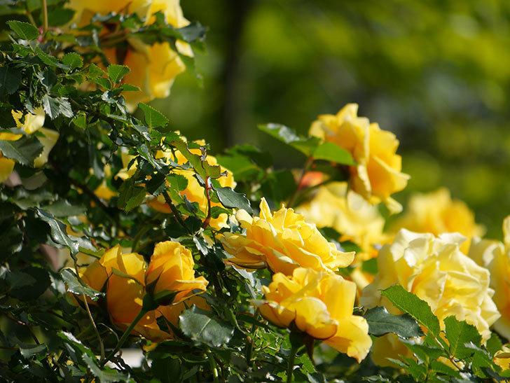 つるゴールドバニー(Gold Bunny Climbing)の花がたくさん咲いた。ツルバラ。2021年-088.jpg