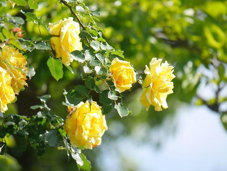 つるゴールドバニー(Gold Bunny Climbing)の花がたくさん咲いた。ツルバラ。2021年-089.jpg