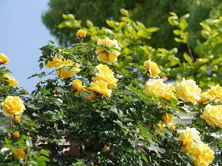 つるゴールドバニー(Gold Bunny Climbing)の花がたくさん咲いた。ツルバラ。2021年-091.jpg