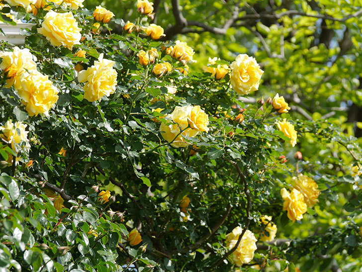 つるゴールドバニー(Gold Bunny Climbing)の花がたくさん咲いた。ツルバラ。2021年-092.jpg