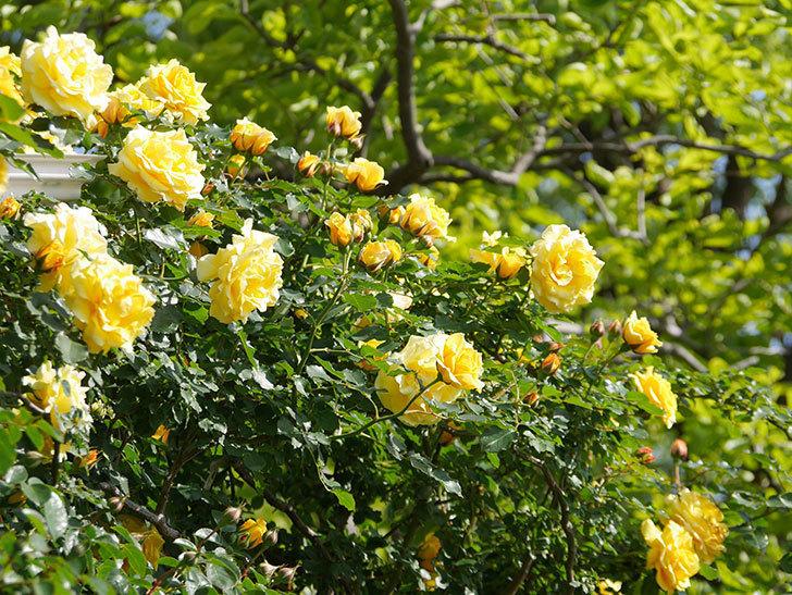 つるゴールドバニー(Gold Bunny Climbing)の花がたくさん咲いた。ツルバラ。2021年-093.jpg