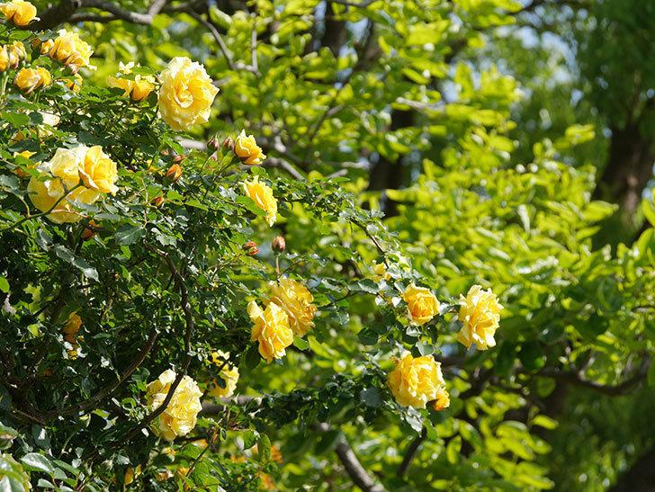 つるゴールドバニー(Gold Bunny Climbing)の花がたくさん咲いた。ツルバラ。2021年-094.jpg
