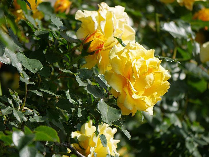 つるゴールドバニー(Gold Bunny Climbing)の花がたくさん咲いた。ツルバラ。2021年-096.jpg
